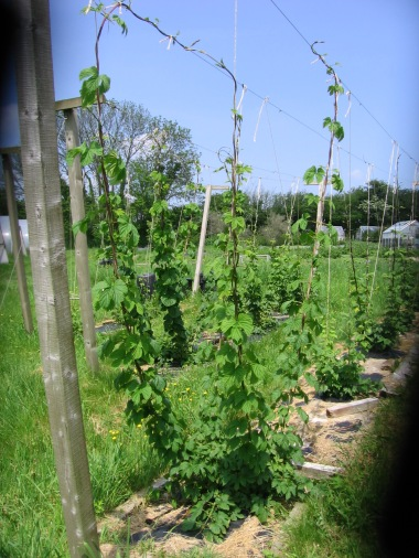 Hops Garden